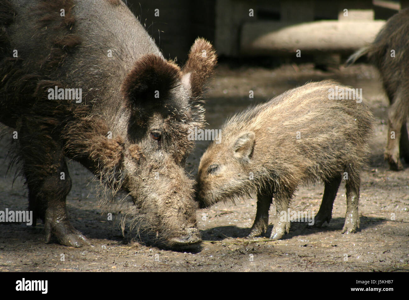 mammal striated mud wild boar pig smooch sniff dirty young of a wild