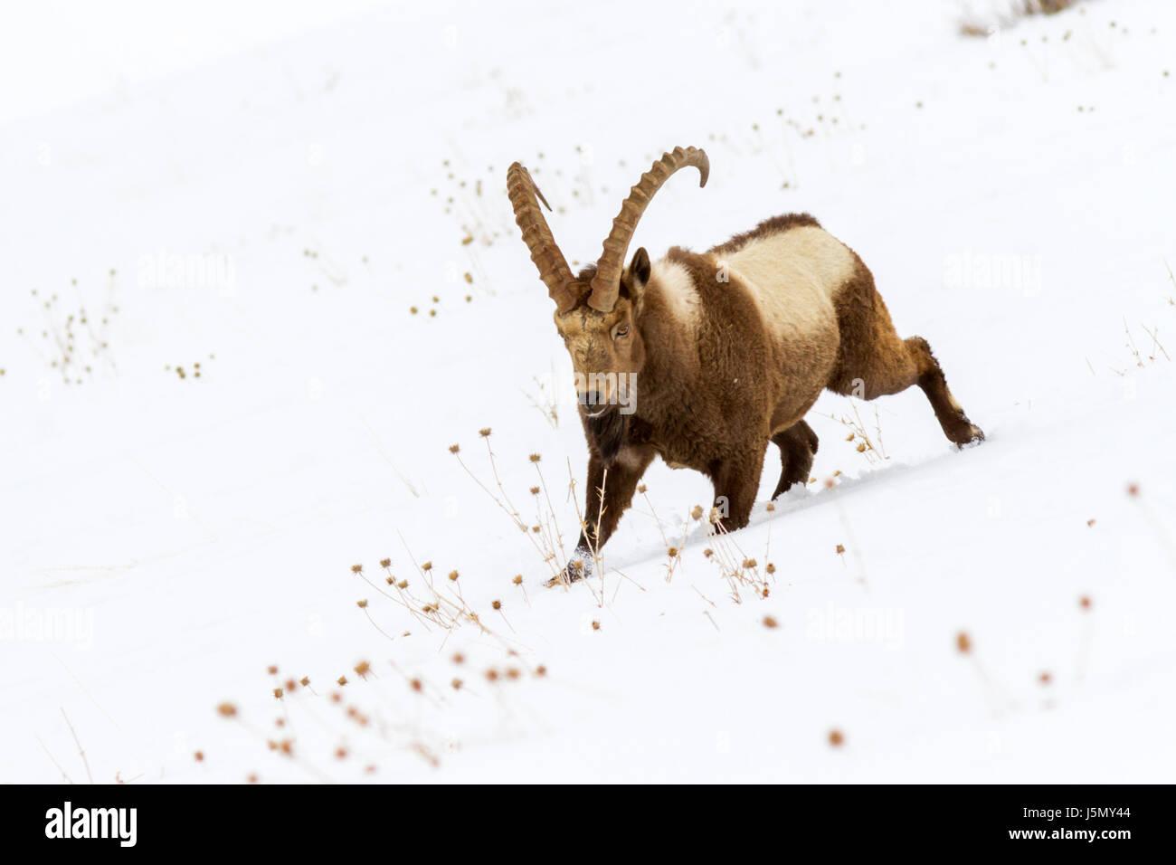 Himalayan Ibex (Capra sibirica hemalayanus) in high altitude mountains of Himalayas in Spiti Valley near Kibber - Stock Image