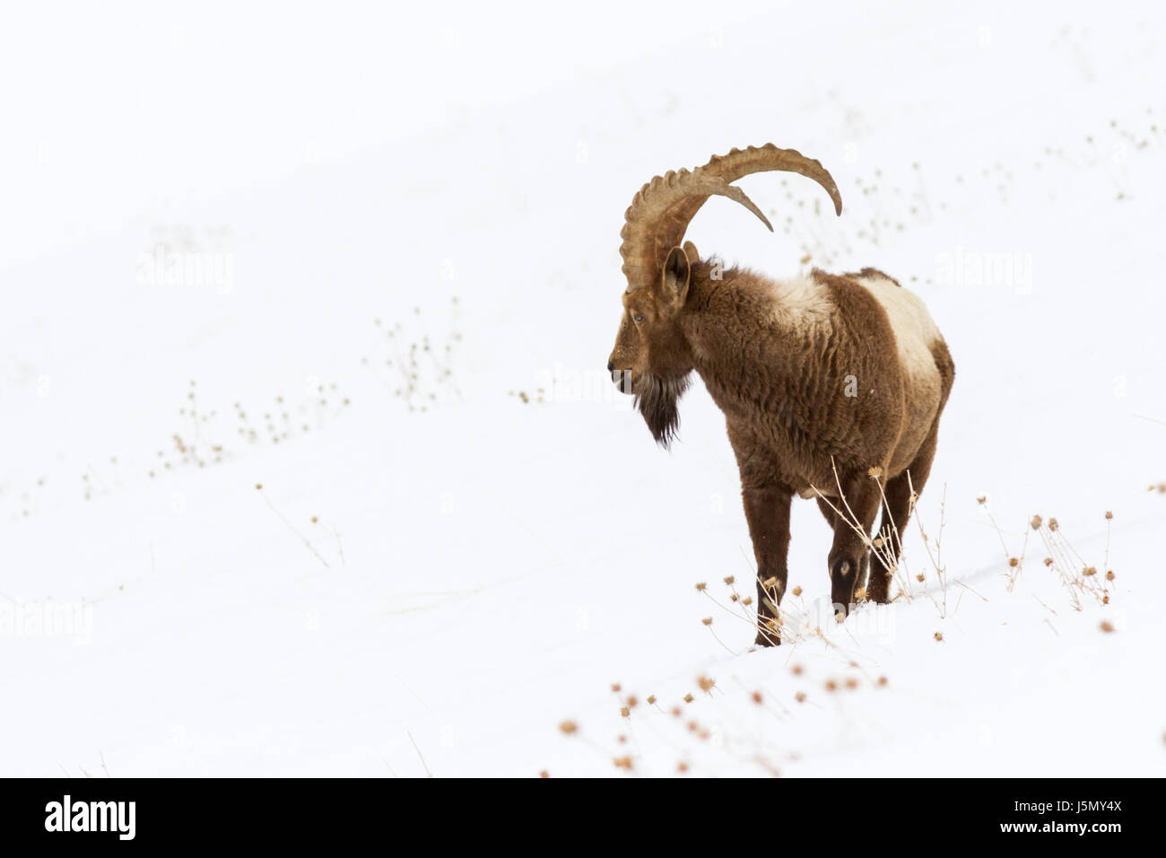 Himalayan Ibex (Capra sibirica hemalayanus) in high altitude mountains of Himalayas in Spiti Valley near Kibber Stock Photo