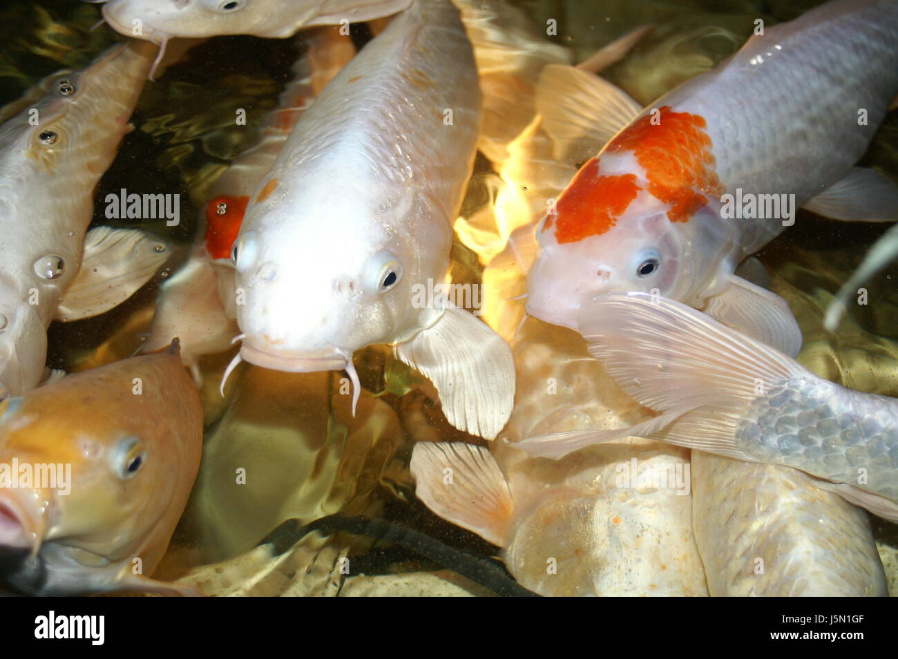 Aquarium Fish Silver Hovel Fresh Water Pond Water Japan Carp Emperor