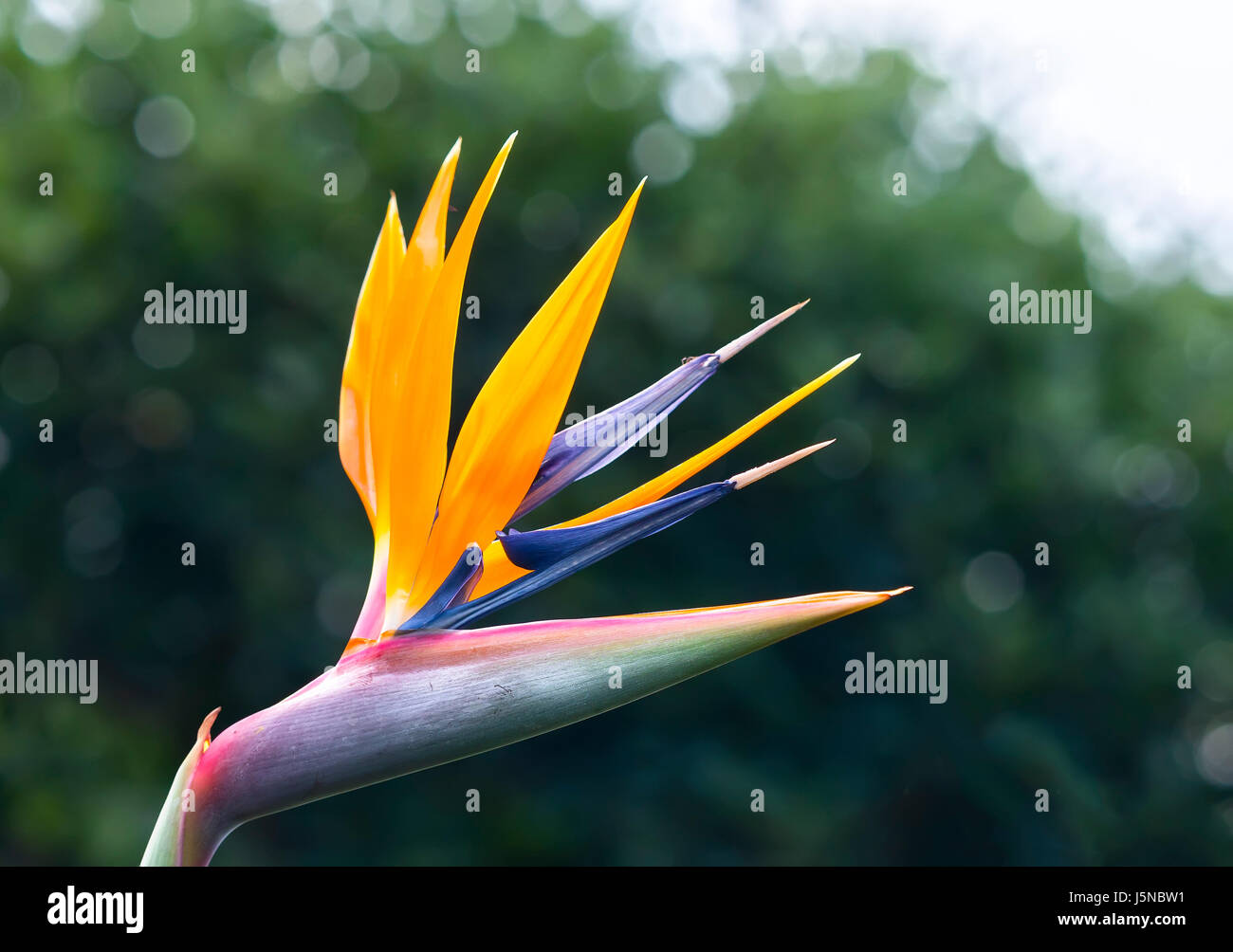 The Bird Of Paradise Flowers Bloom In The Love Garden This Is The
