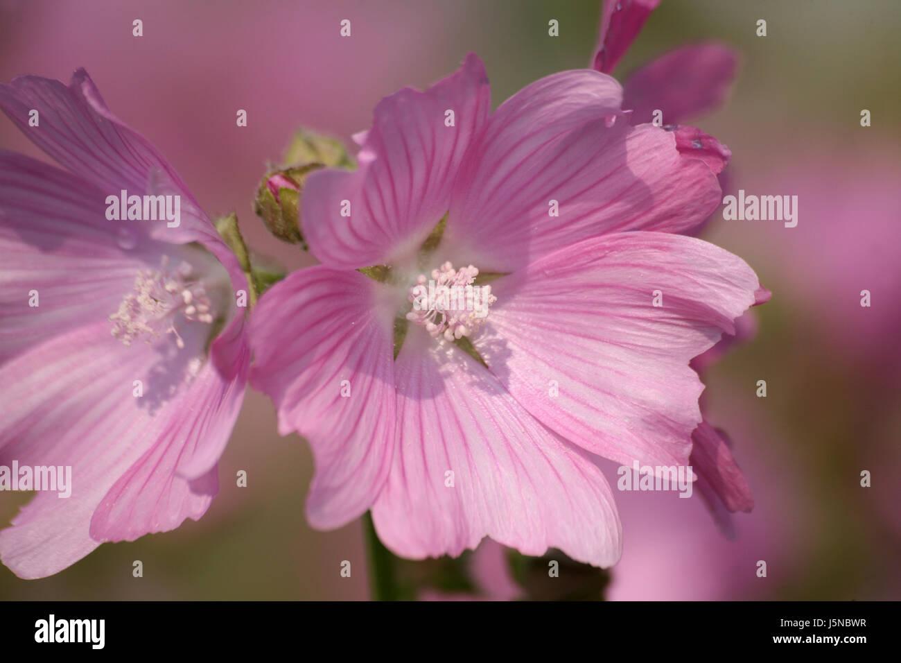 rose mallow Stock Photo