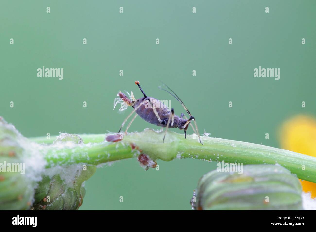 Aphid giving birth to a clone of itself - Stock Image