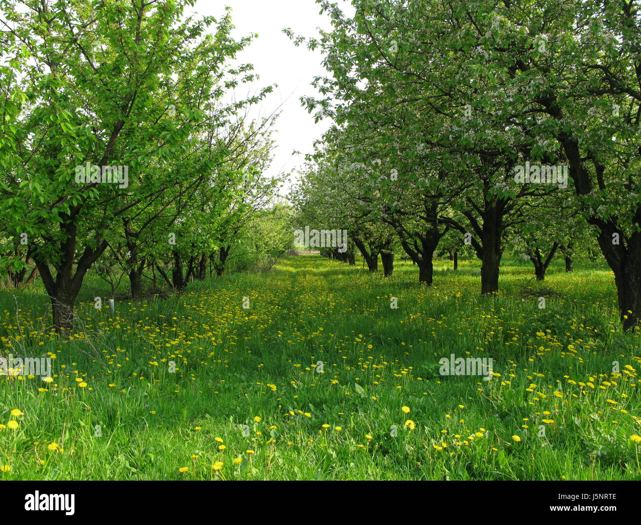 Orchard in Sobienie Jeziory Stock Photo
