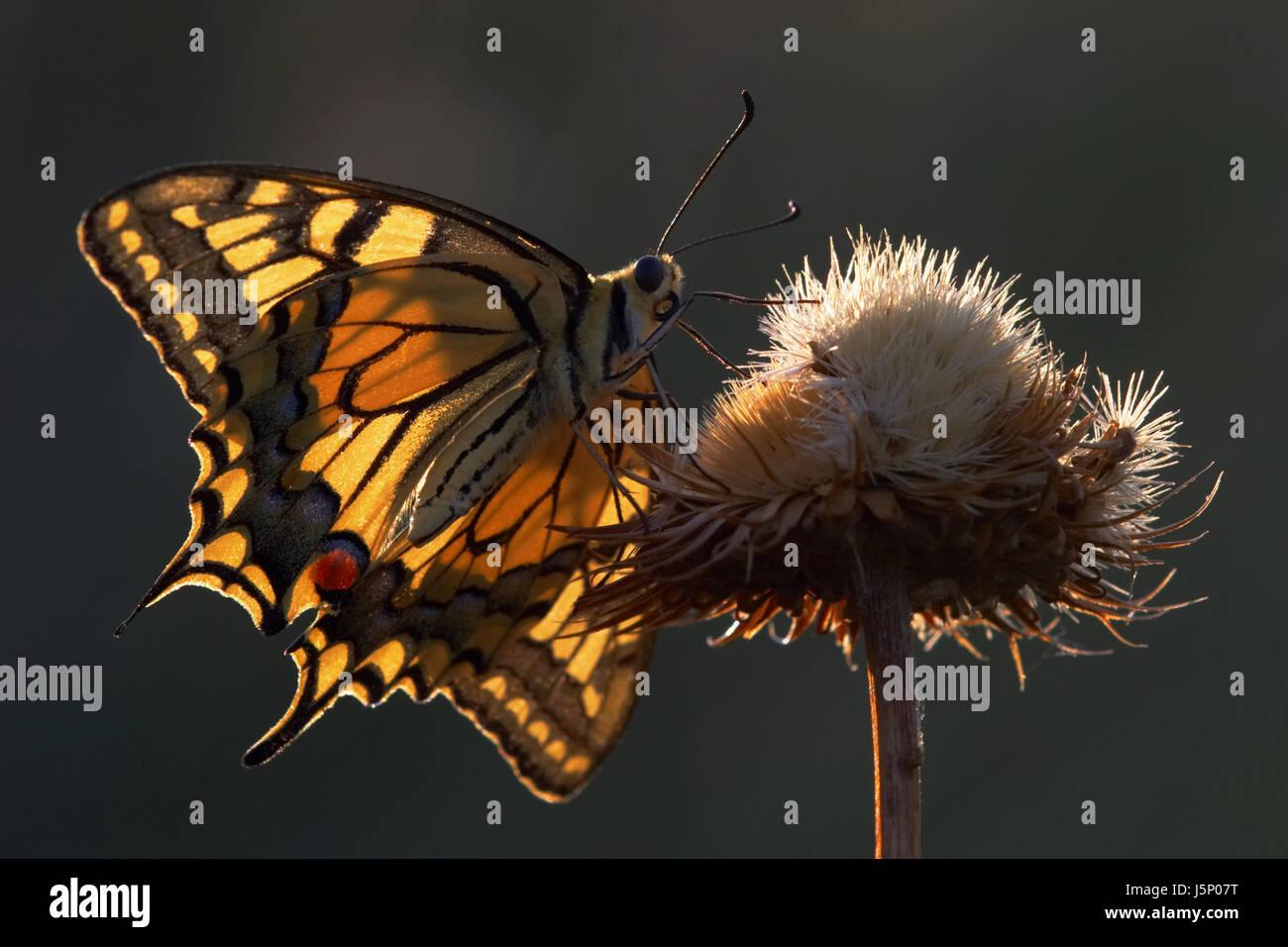 dovetail backlit - Stock Image