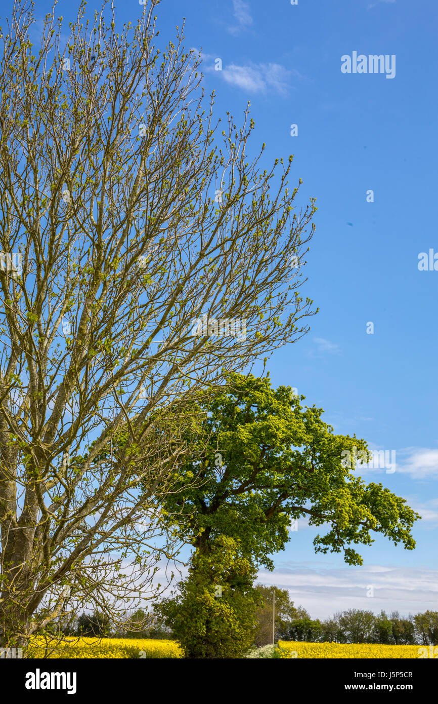 Weather lore 'oak before ash in for a splash'. Ash tree (left) and oak tree (right). Hoxne, Suffolk, UK. - Stock Image