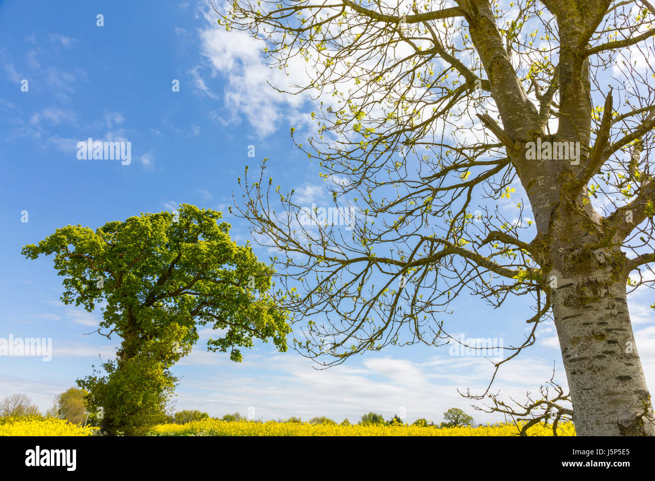 Weather lore 'oak before ash in for a splash'. Oak tree (left) and ash tree (right). Hoxne, Suffolk. - Stock Image