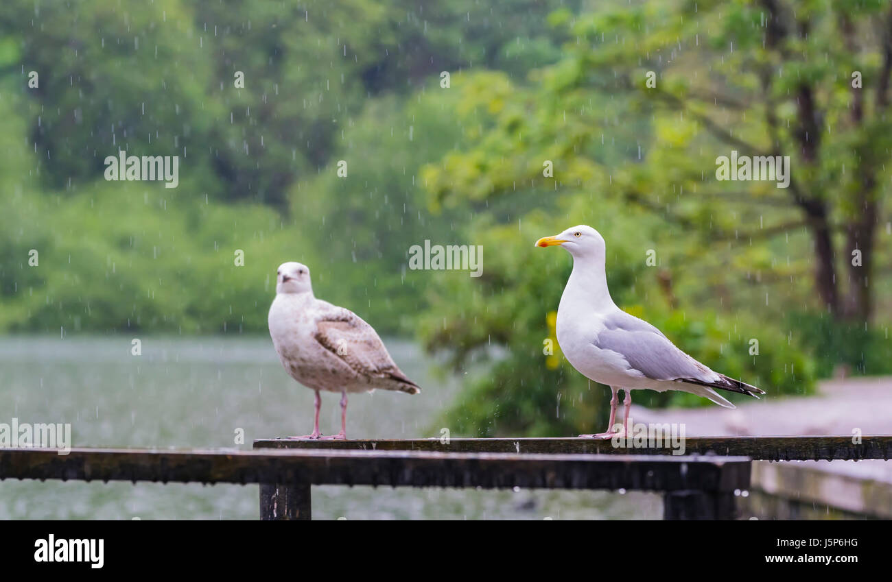 Seagulls in the rain. Pair of Herring Gulls standing by a lake in the rain. - Stock Image