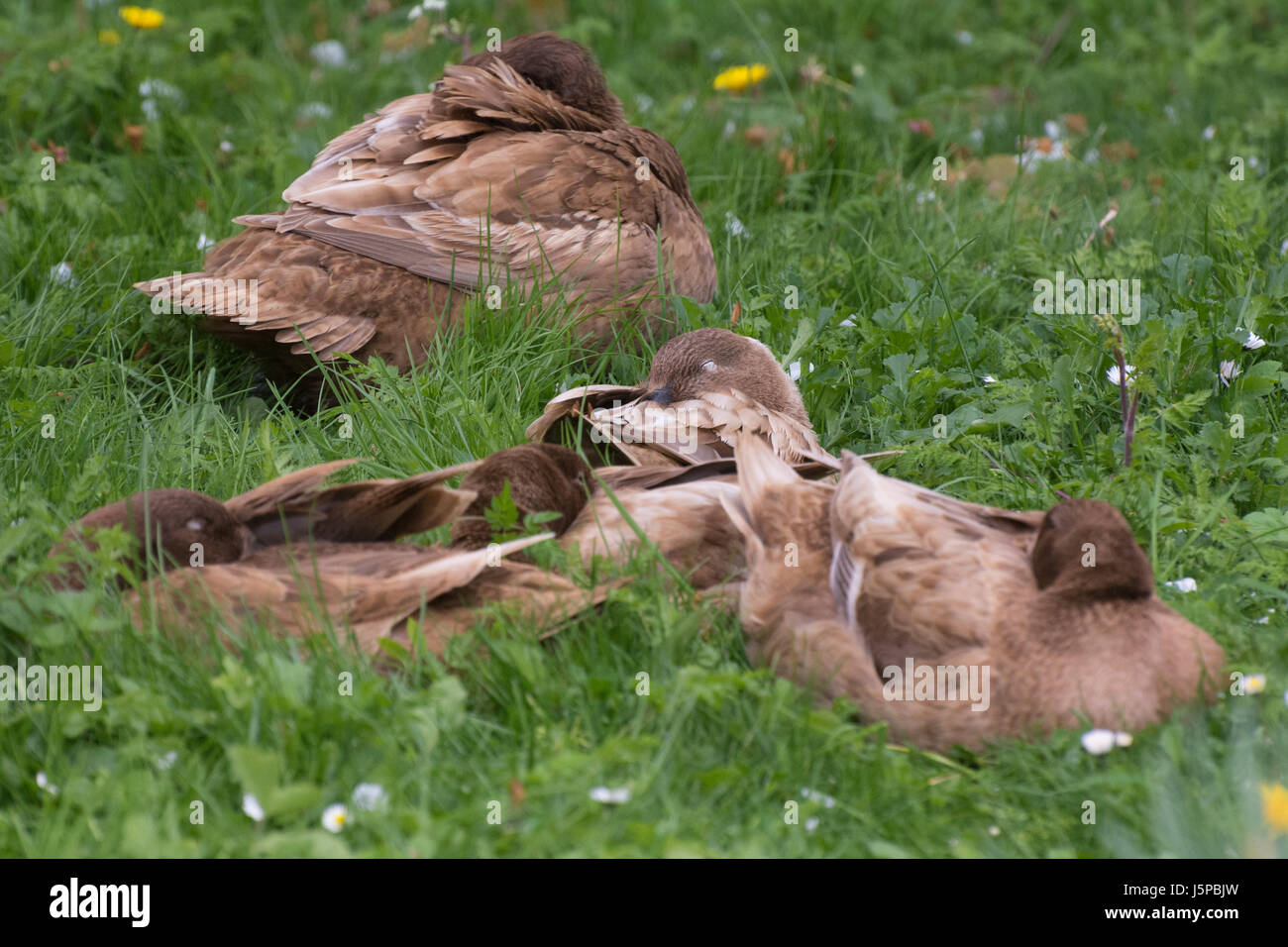 A small flock of Khaki Campbell domestic ducks sleep peacefully in a grassy garden. - Stock Image