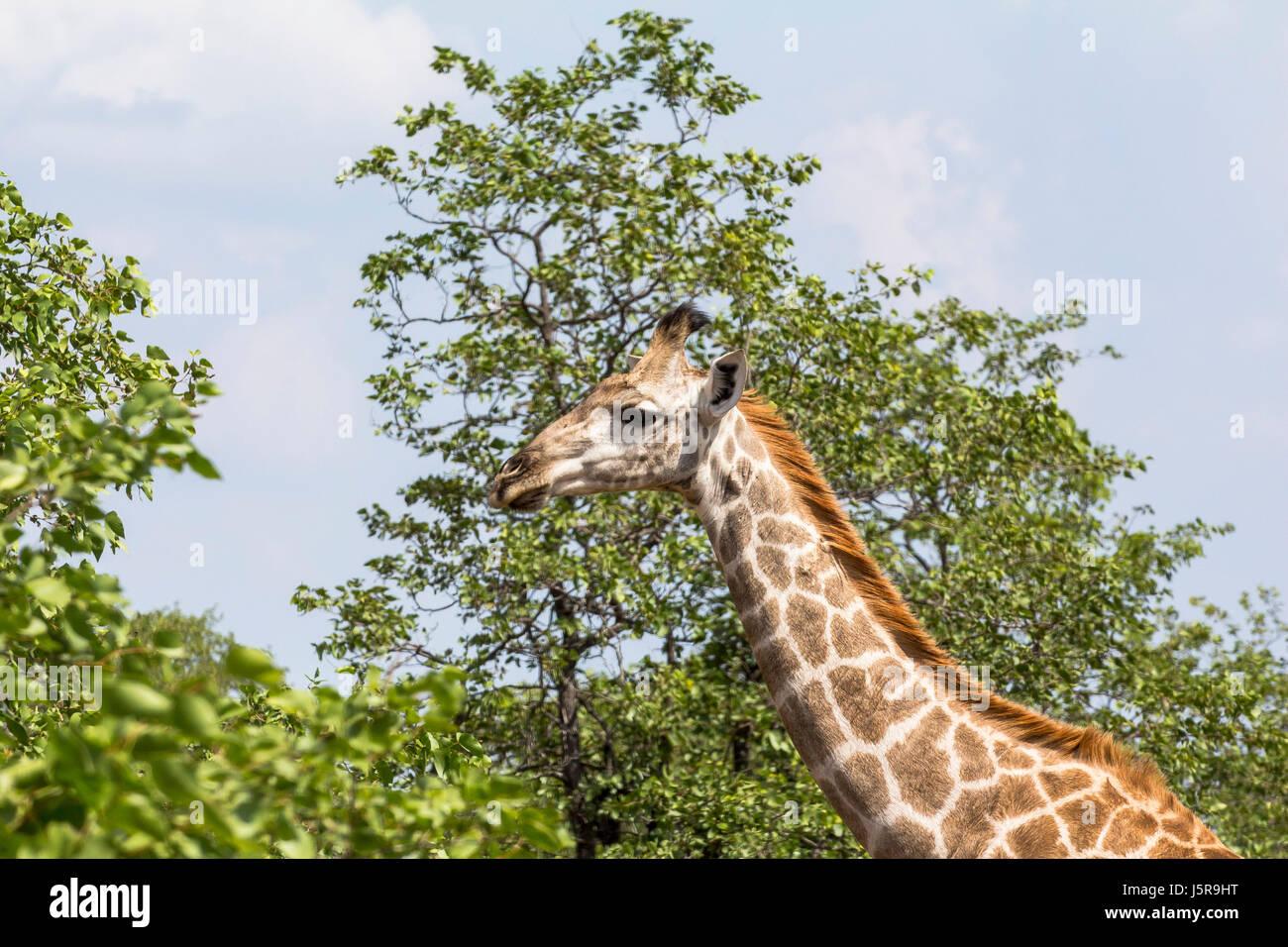 Giraffe standing inside Kruger Nationalpark in South Africa - Stock Image