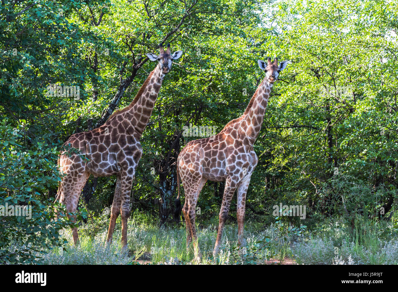 Two Giraffes standing inside Kruger Nationalpark in South Africa - Stock Image