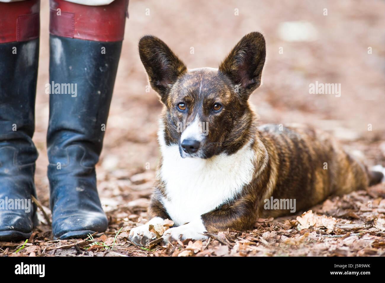 boot animal hunter portrait watchful black swarthy jetblack deep black ears dog Stock Photo