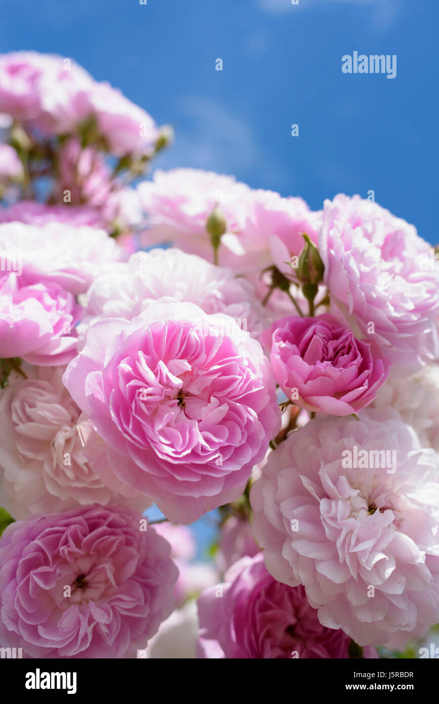 Rose 'Laure Davoust', Rosa 'Laure Davoust', Mass of pink coloured flowers growing outdoor. - Stock Image
