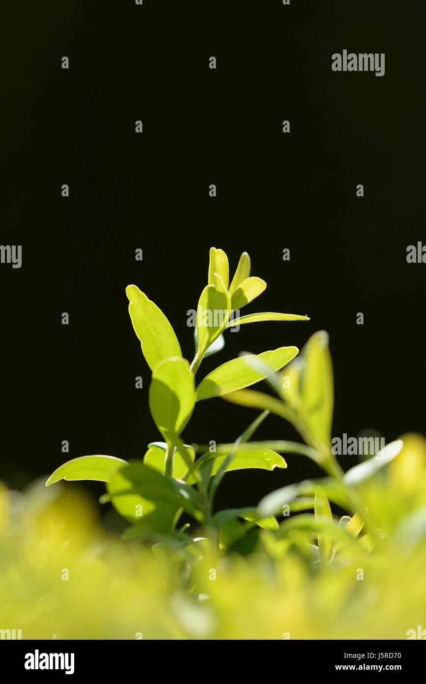 Box, Common box, Buxus sempervirens, Side view of backlit leaves