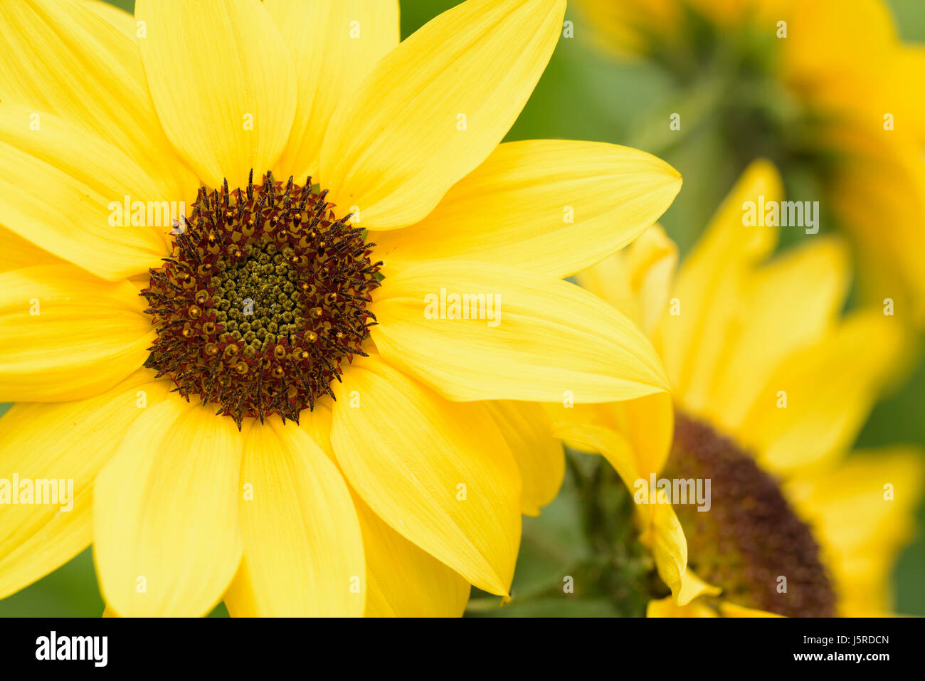 Sunflower, Common sunflower, Helianthus annuus, Close up detail of yellow coloured flower growing outdoor. Stock Photo