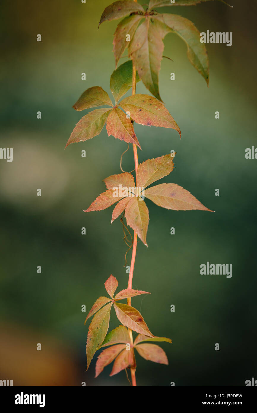 Branch of orange leaves during autumn in vertical format - Stock Image