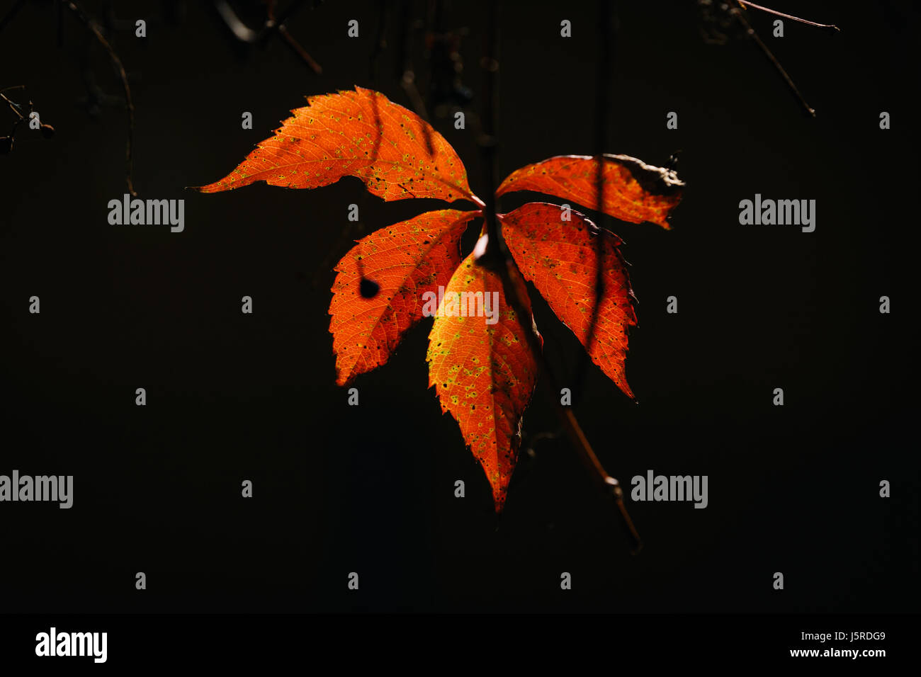 Close up of an orange and red leaf during autumn - Stock Image