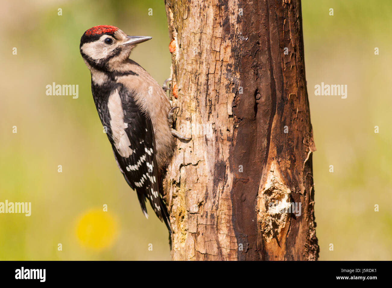 A young Great Spotted Woodpecker (Dendrocopos major) on a tree in the uk - Stock Image