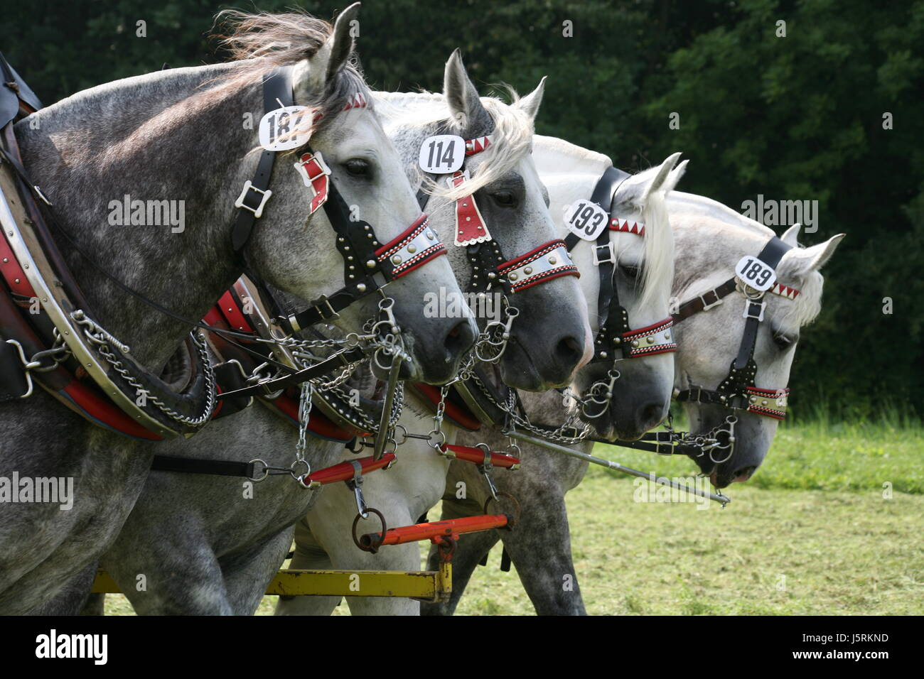 horse animal strong agriculture farming four horses harness coach farm animal - Stock Image