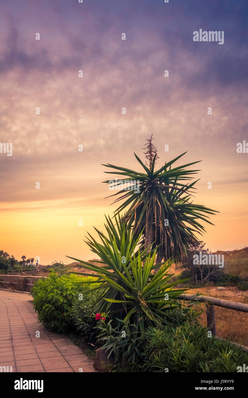marbella  palm trees - Stock Image