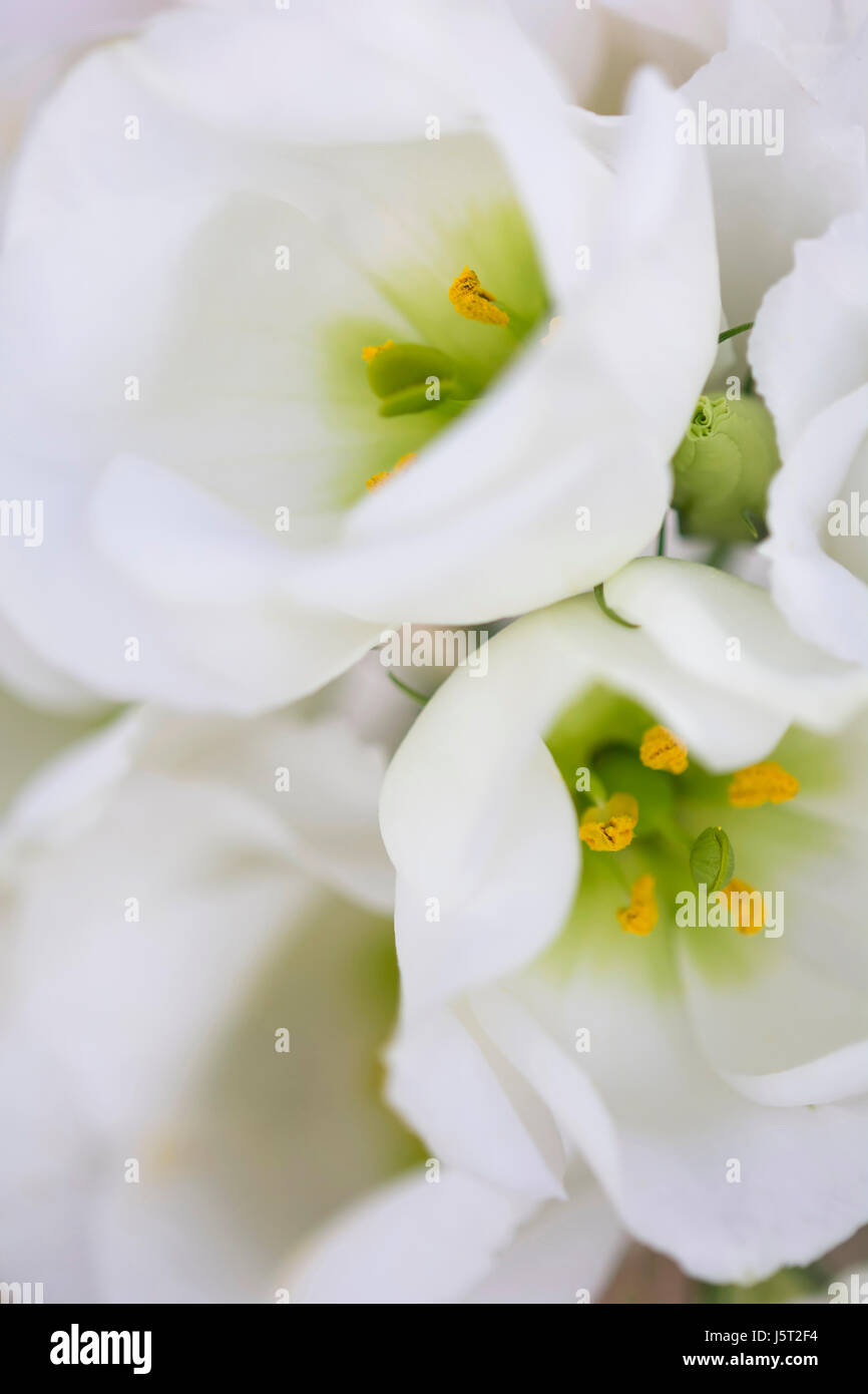 Prairie gentian, Eustoma grandiflorum, Close up of white flowers showing stamen. - Stock Image