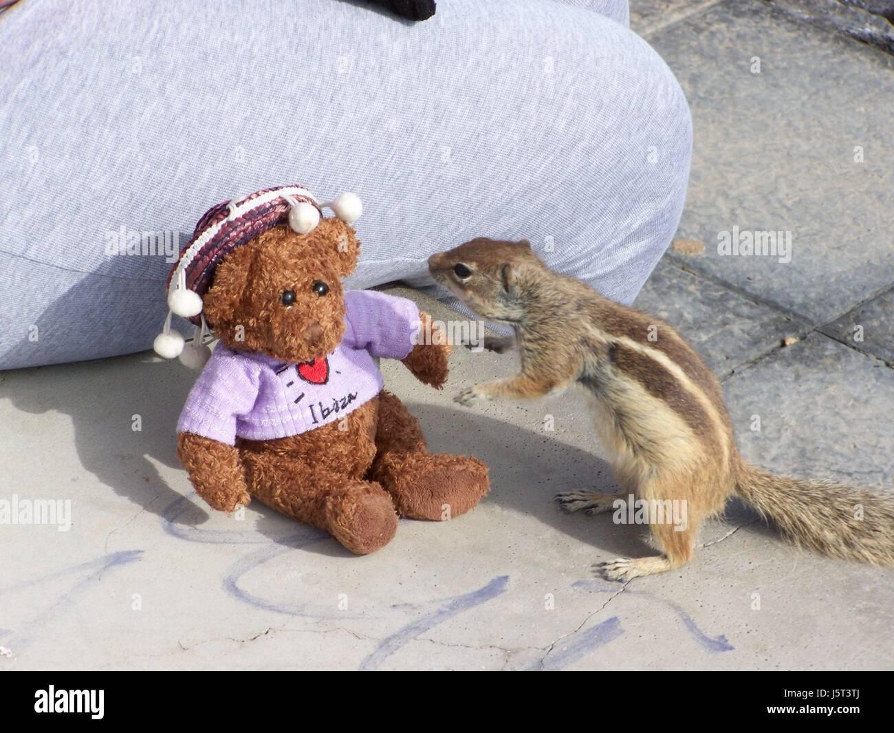 squirrel,teddy,funny,maddening,pert,coquettish,cute,calleta,fuerteventura - Stock Image