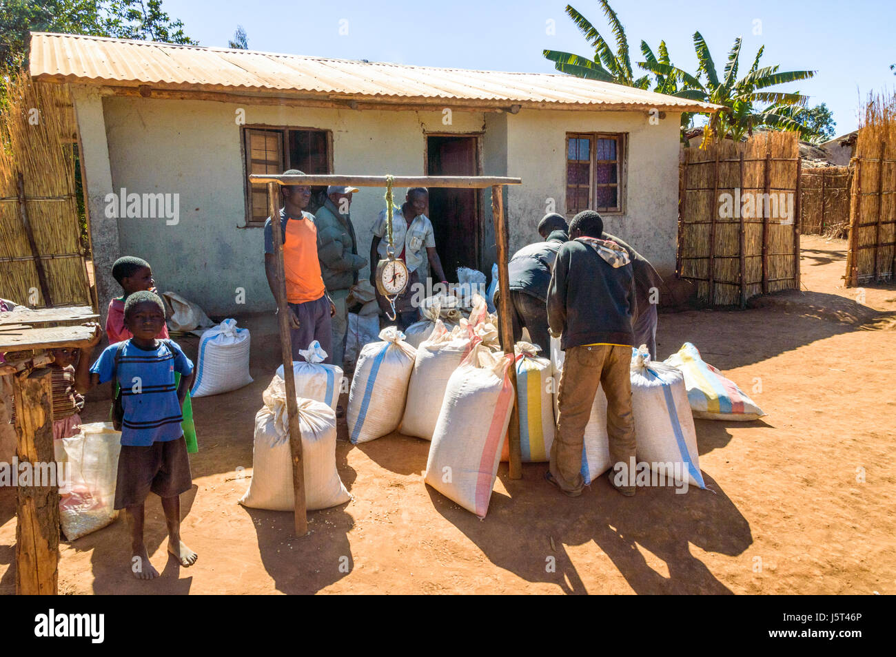 Men stack sacks of maize in front of shop before weighing them for sale in a rural village in Malawi, Africa - Stock Image