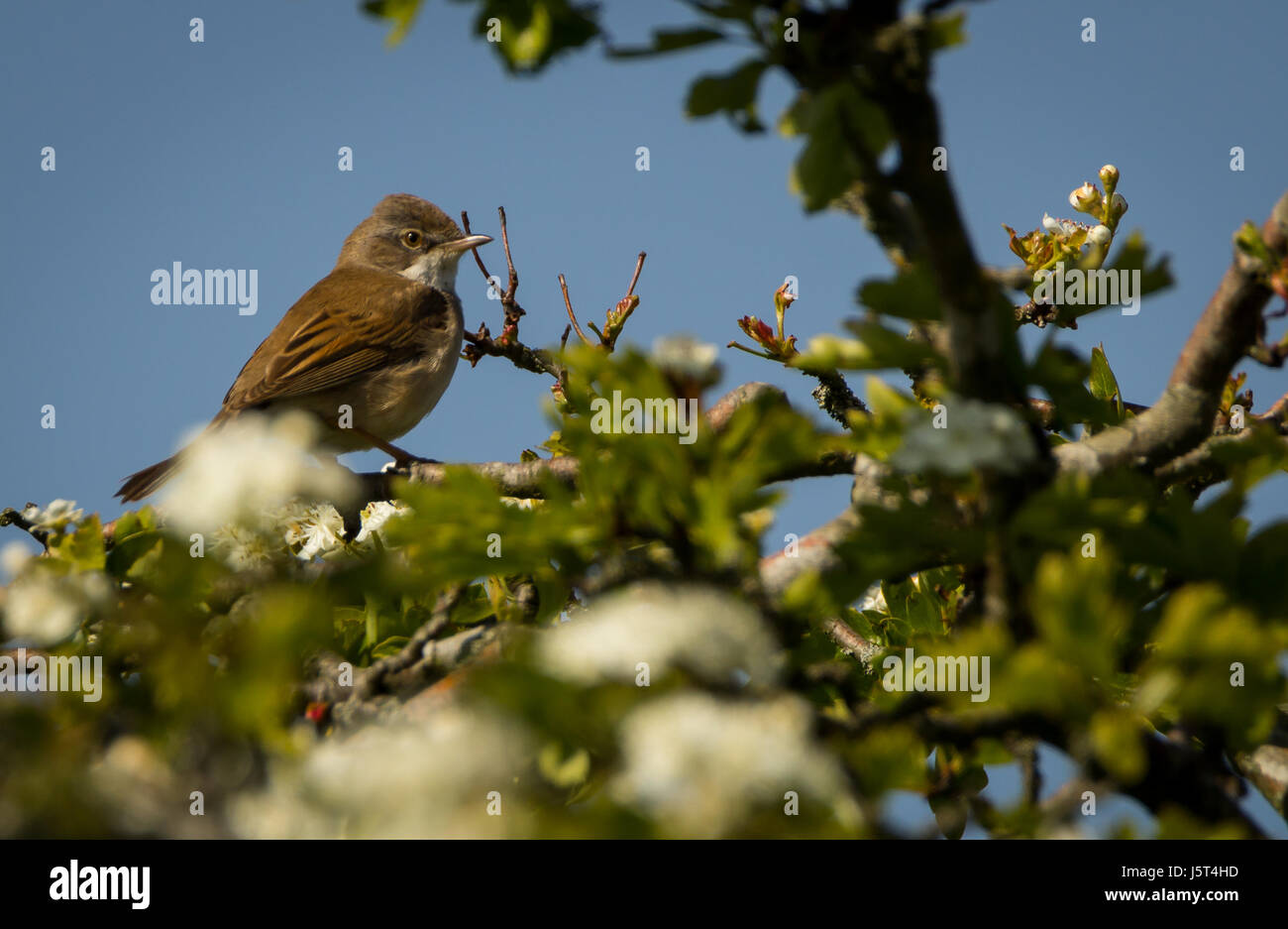 Whitethroat perched in a hawthorn tree - Stock Image