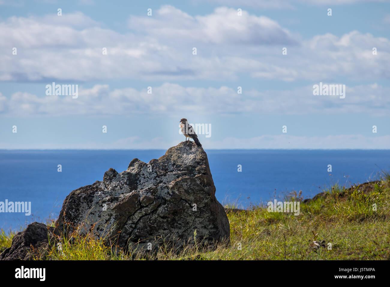 Chimango caracara falcon - Easter Island, Chile - Stock Image