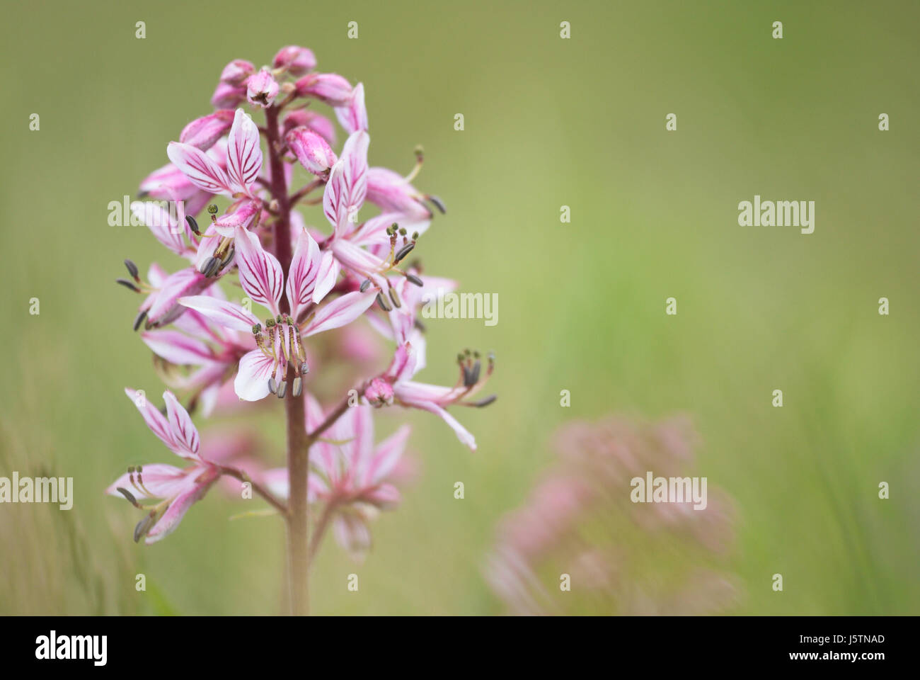 Gas plant (Dictamnus albus), a quaintly old-timey perennial herb that exudes a flammable gas that you can ignite - Stock Image