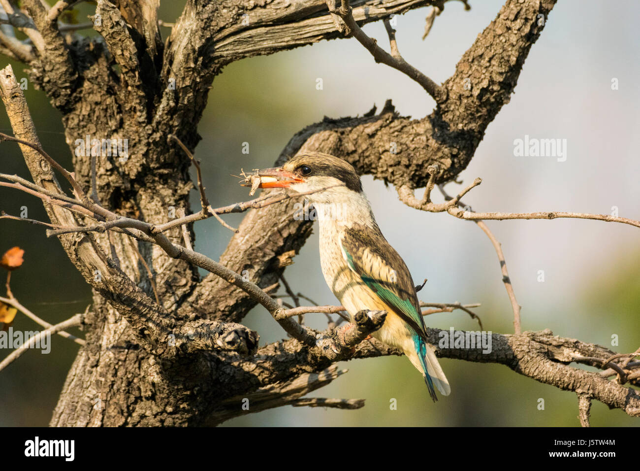 Striped kingfisher  Halcyon chelicuti perched in tree with kill - Stock Image