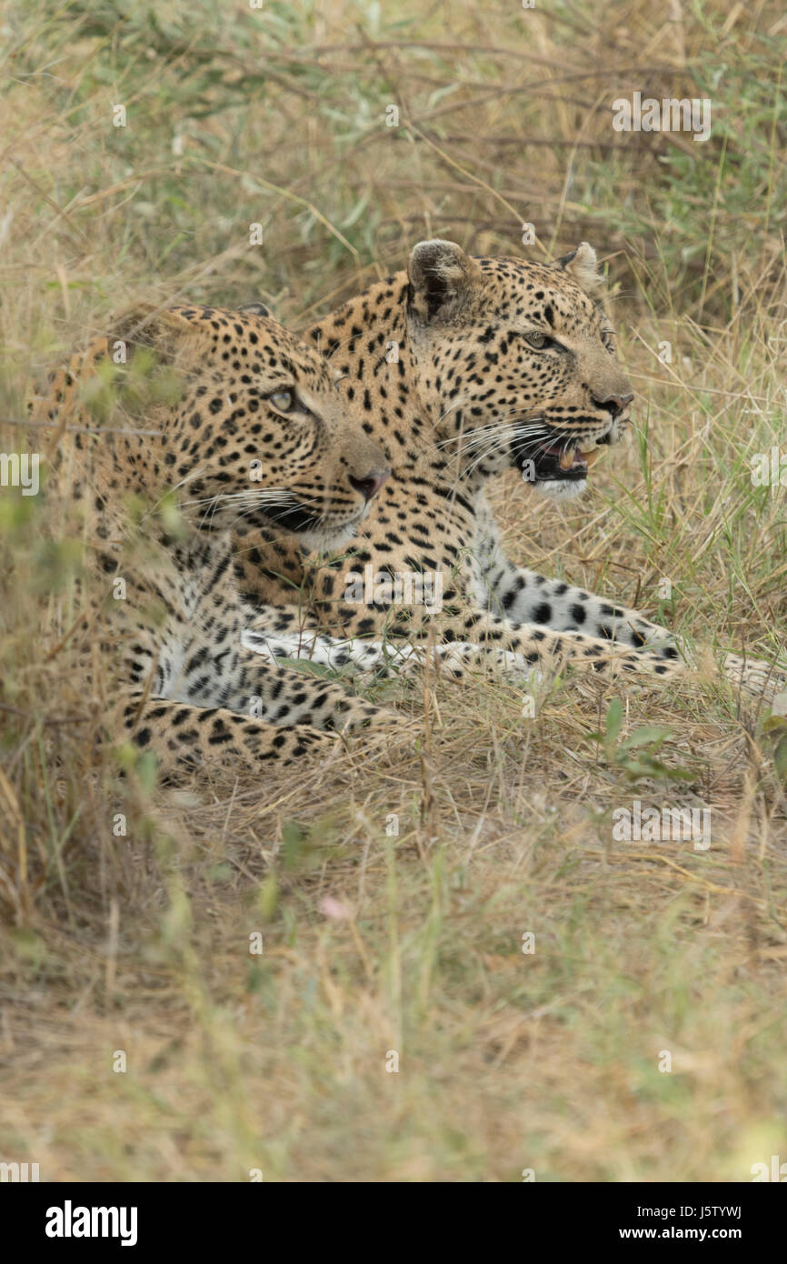 Female leopard with her two year old cub playing in Chitabe area of the Okavango Delta in Botswana - Stock Image