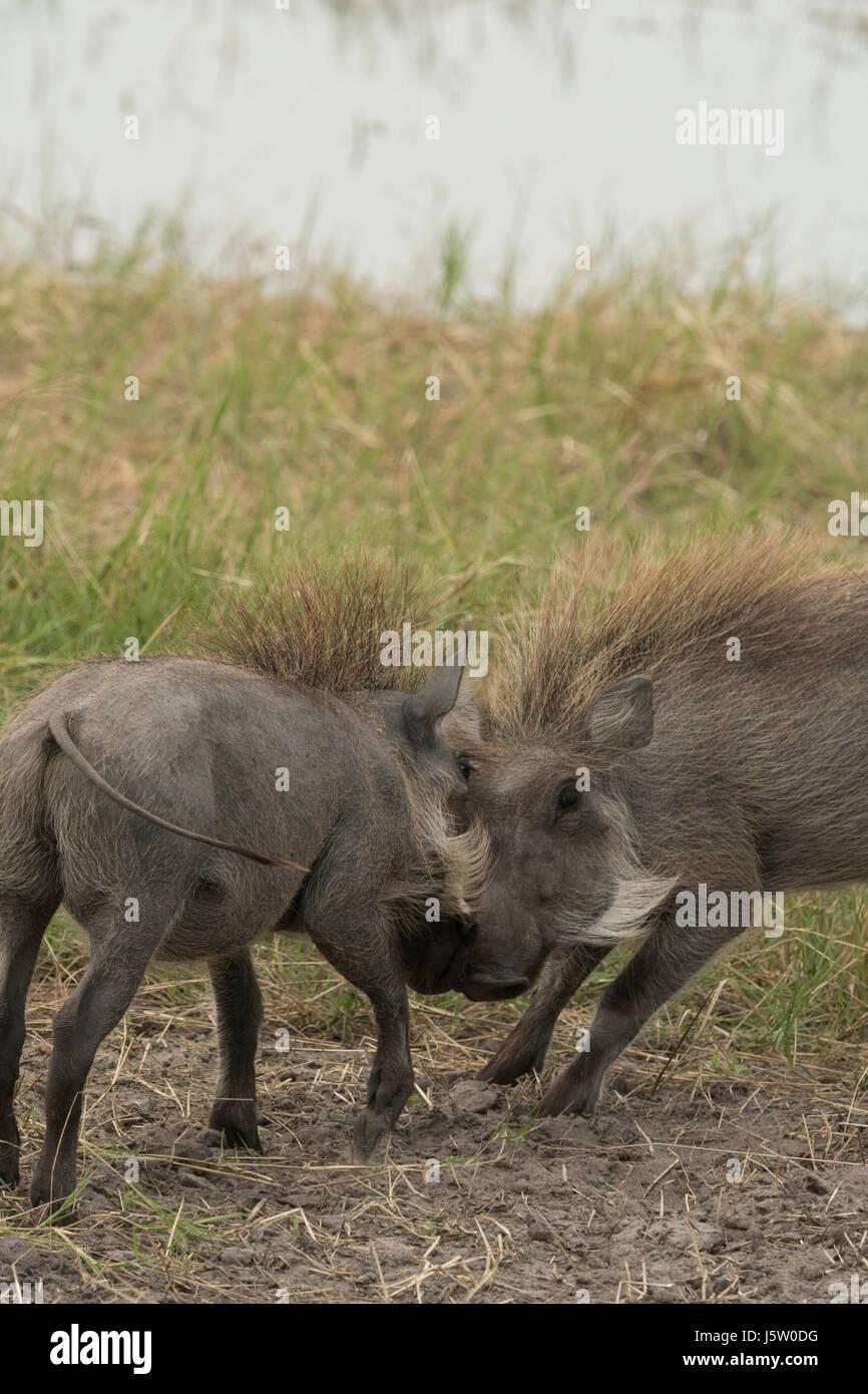 Warthogs fighting in the Okavango Delta - Stock Image