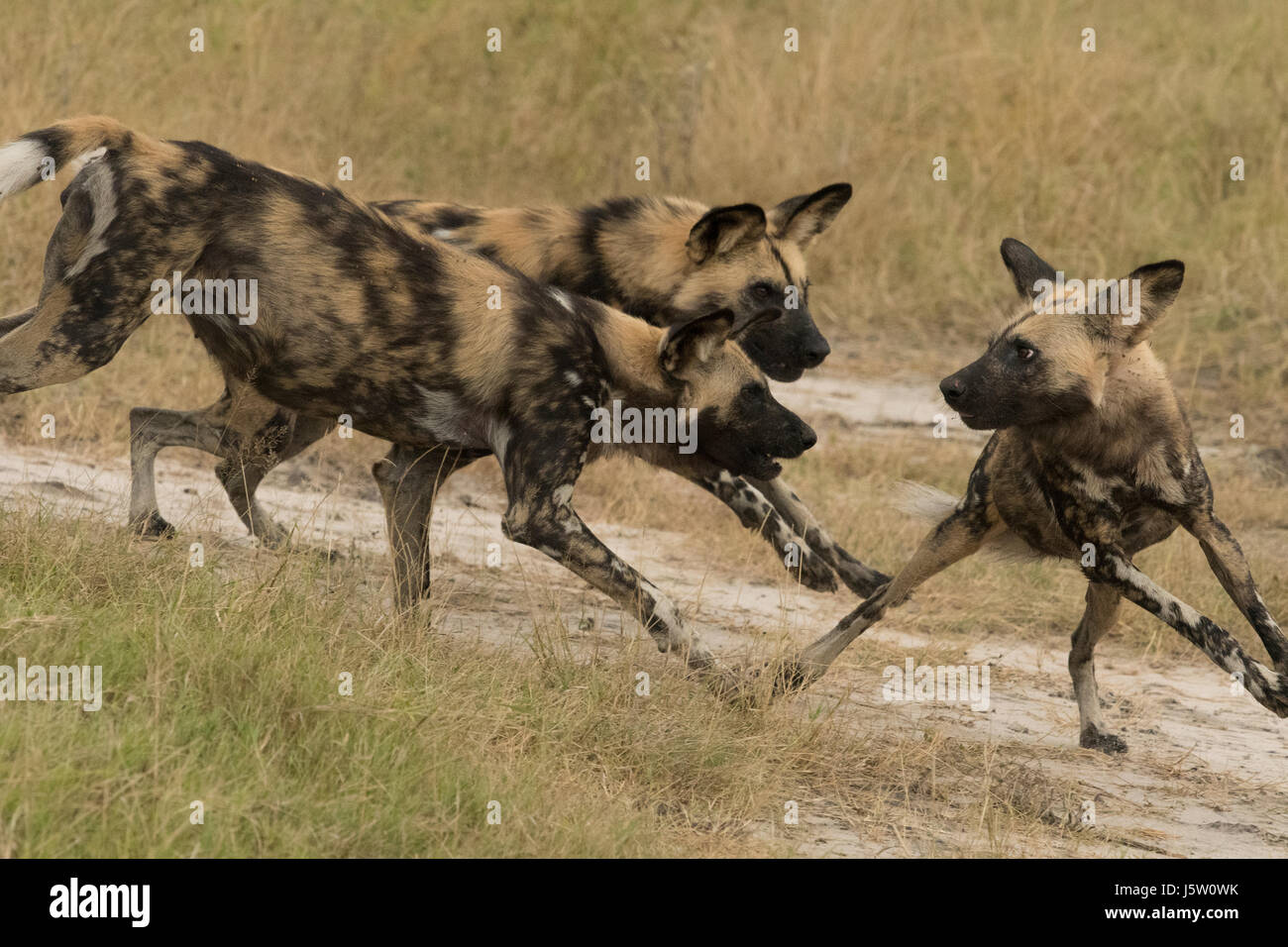 Three Cape Hunting dogs (African Wild Dogs) tussling with each other for dominance seen in Chitabe in the Okavango - Stock Image