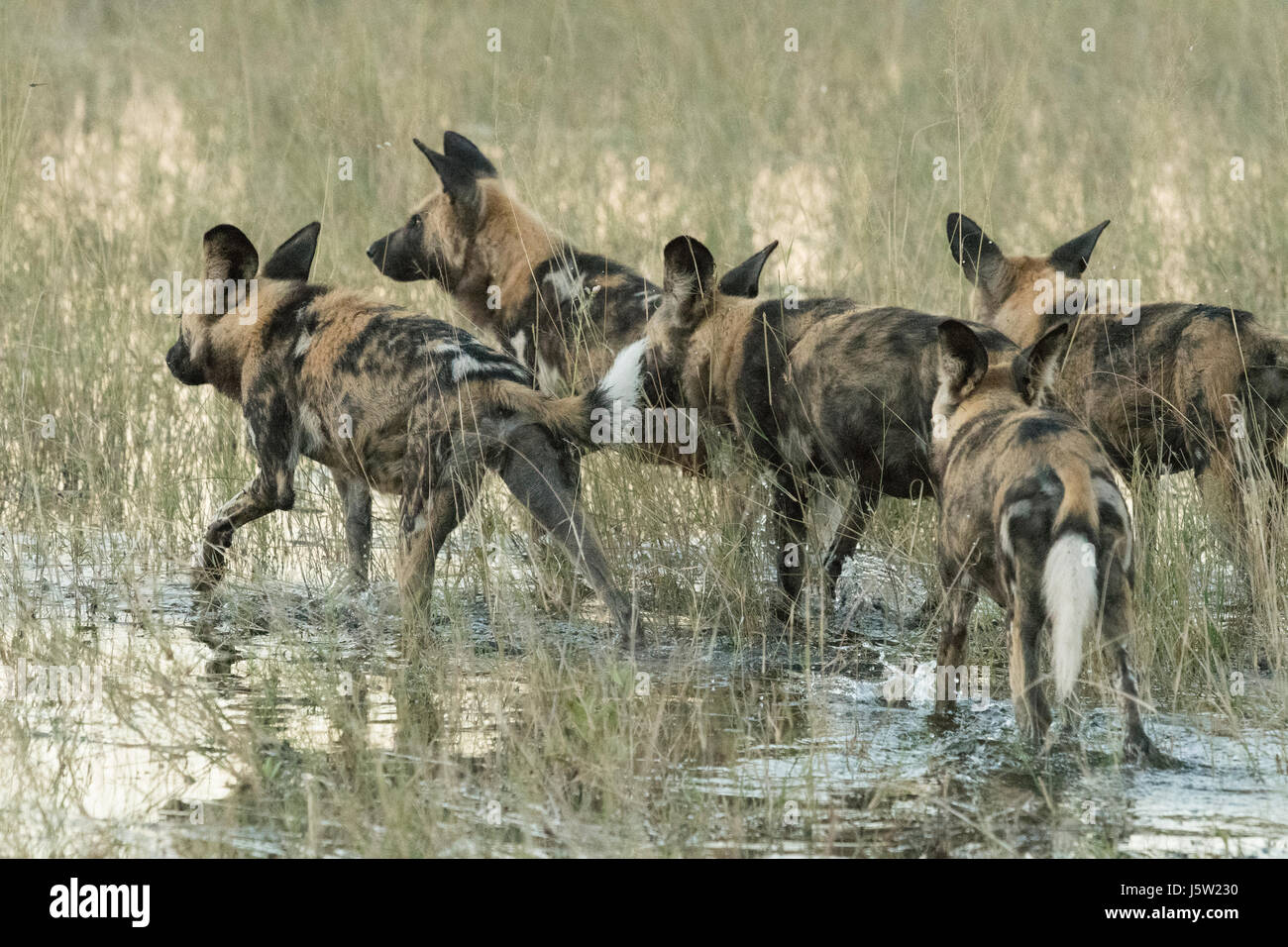 Cape hunting dogs also known as African Wild Dogs playing and hunting in the Okavango Delta Botswana - Stock Image