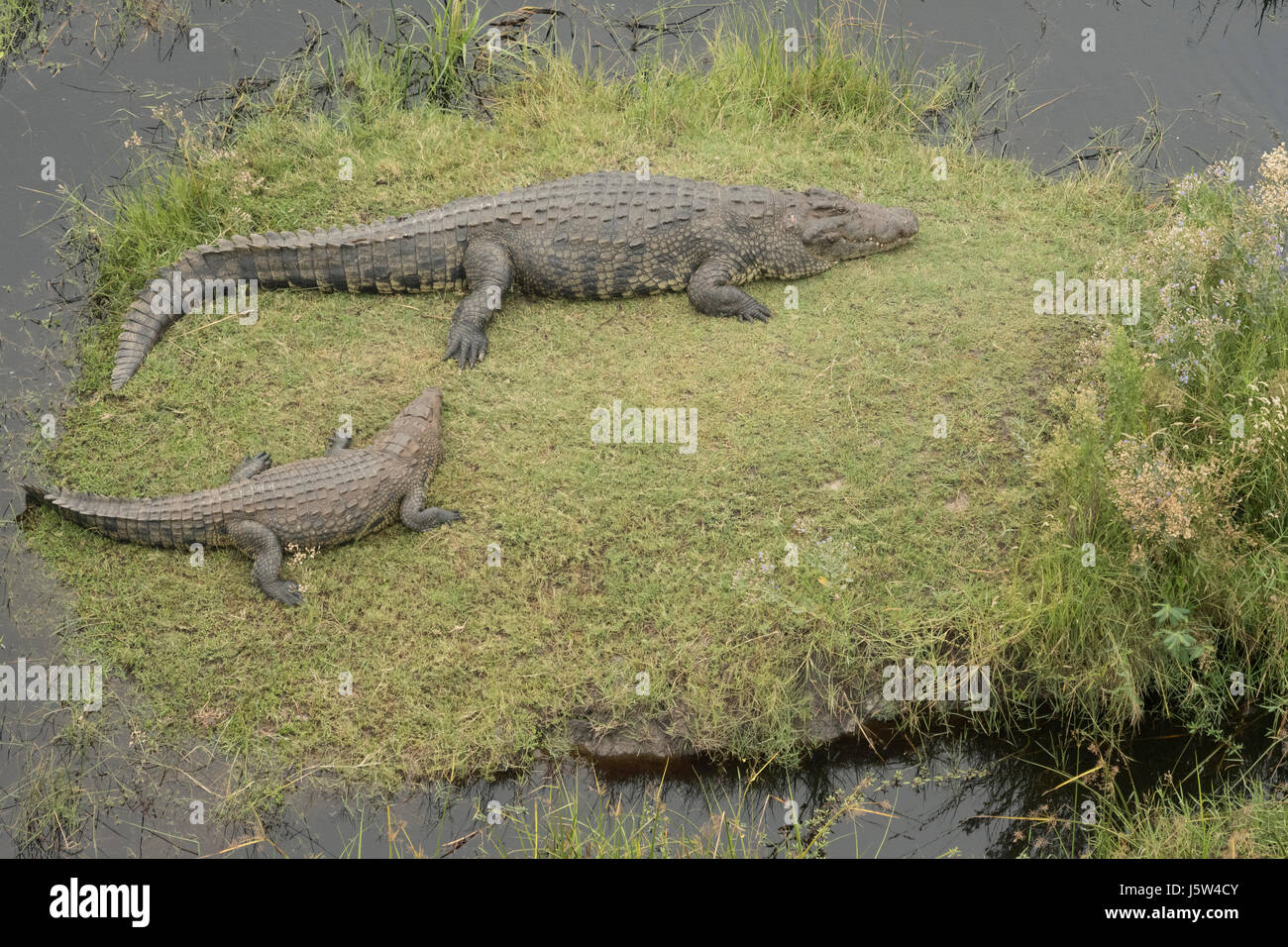 Nile Crocodile paid resting in the flood waters of the Okavango Delta in Botswana - Stock Image