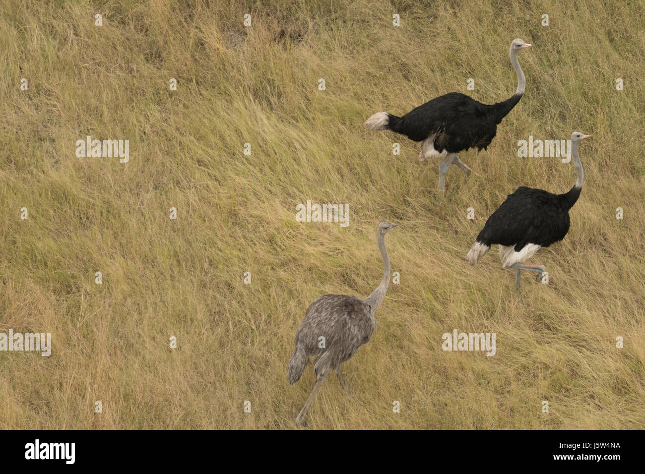 Common ostrich (Struthio camels) viewed from helicopter in Okavango Delta Botswana Stock Photo