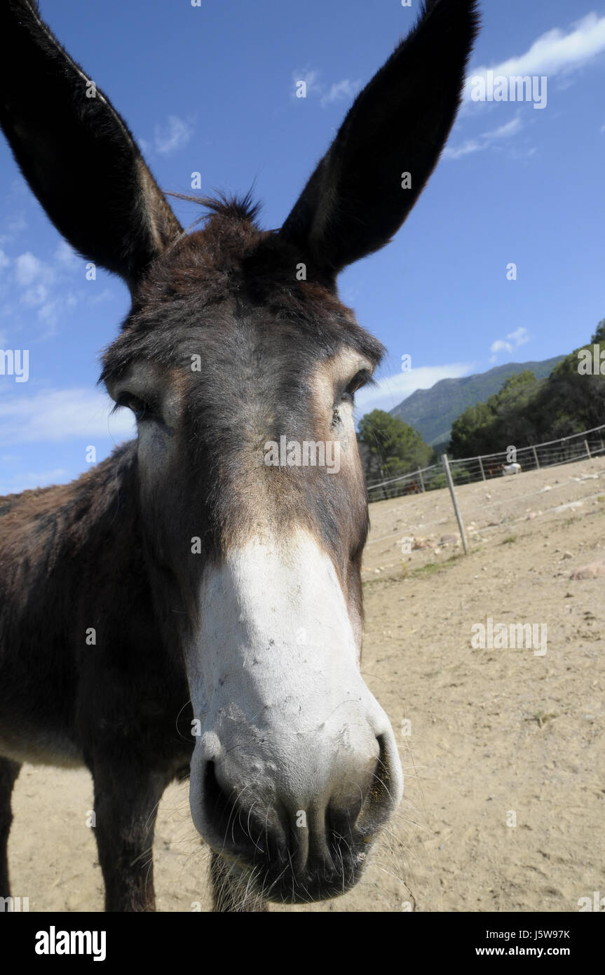 donkey head and ears in the Montseny, Catalunya.  Simple, basic, mammal, family Equidae, specifically to the order - Stock Image