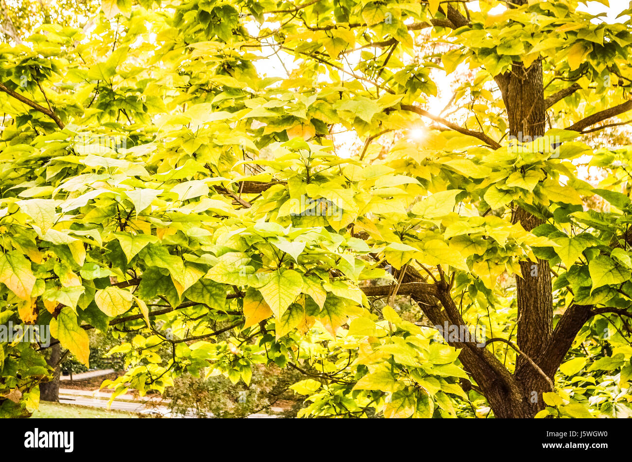 Green And Yellow Eastern Redbud Tree Leaves In Sunlight In Autumn