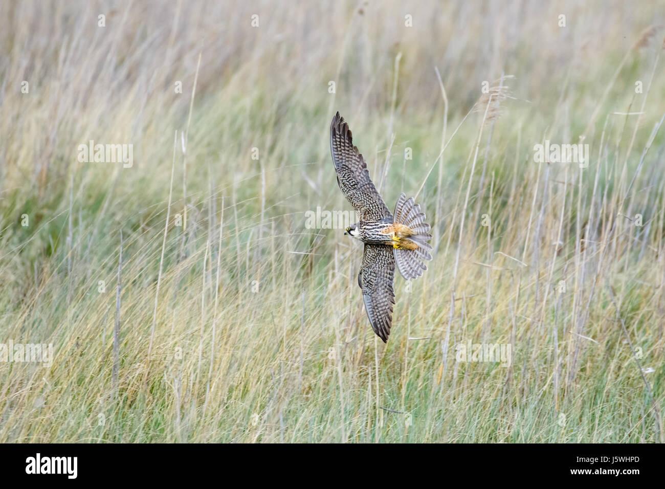 Eurasian Hobby falcon (Falco subbuteo) flying, in flight, banking hard and low through long grass - Stock Image