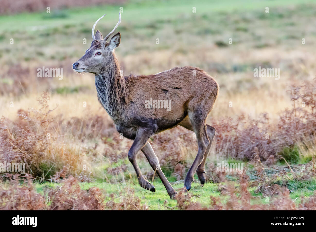 Single young Red Deer male (Cervus elaphus) pricket or yearling running across bracken moorland or parkland - Stock Image