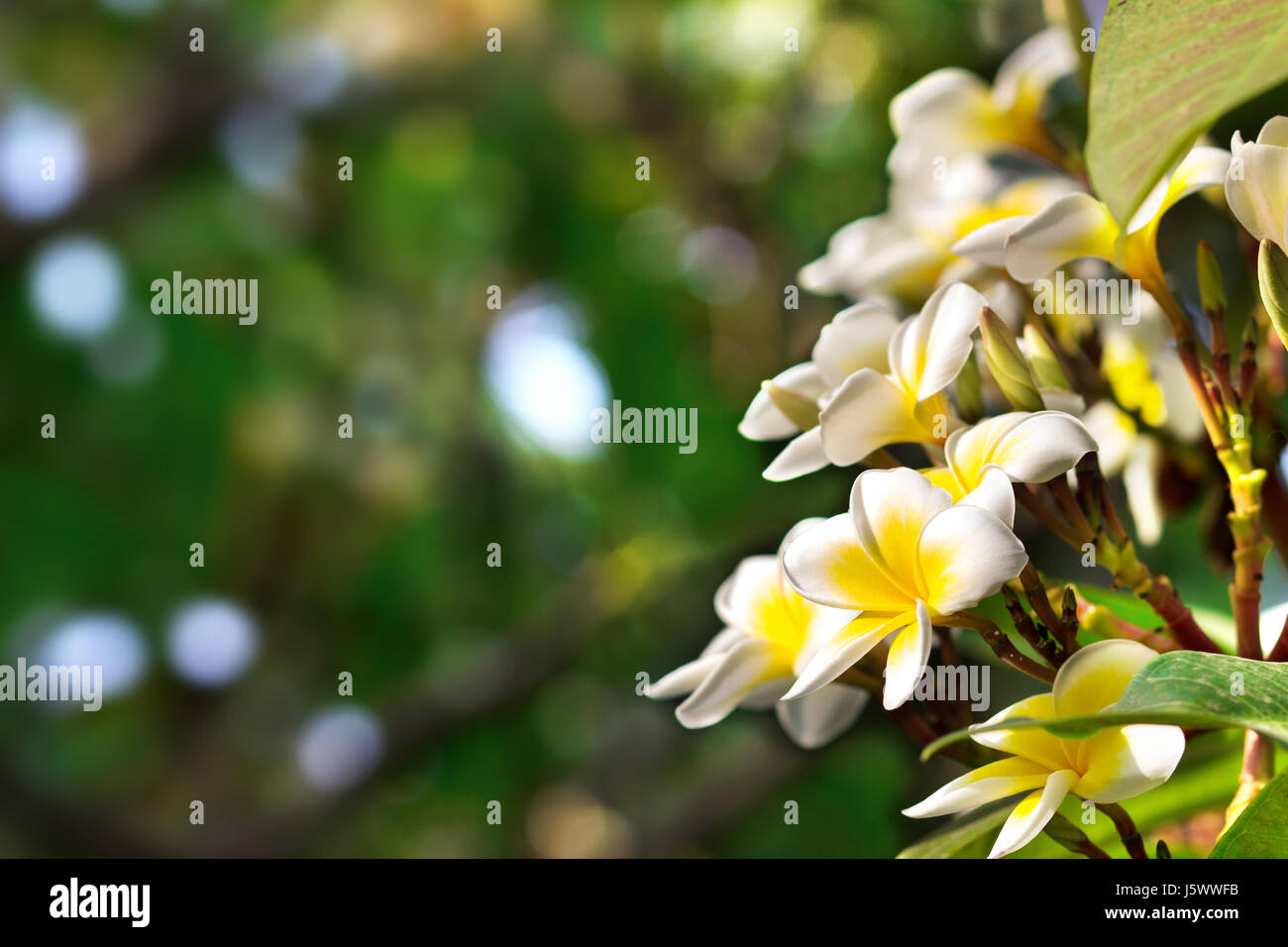 Blossoming of mango tree mango flower consists of 5 petals of white blossoming of mango tree mango flower consists of 5 petals of white on the edges and yellow at the center of the helical shape mightylinksfo