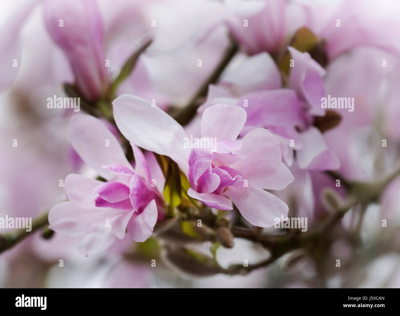 Magnolia, Magnolia 'Leonard Messel', Magnolia x loebneri 'Leonard Messel', Pastel pink flowers growing outdoor on Stock Photo