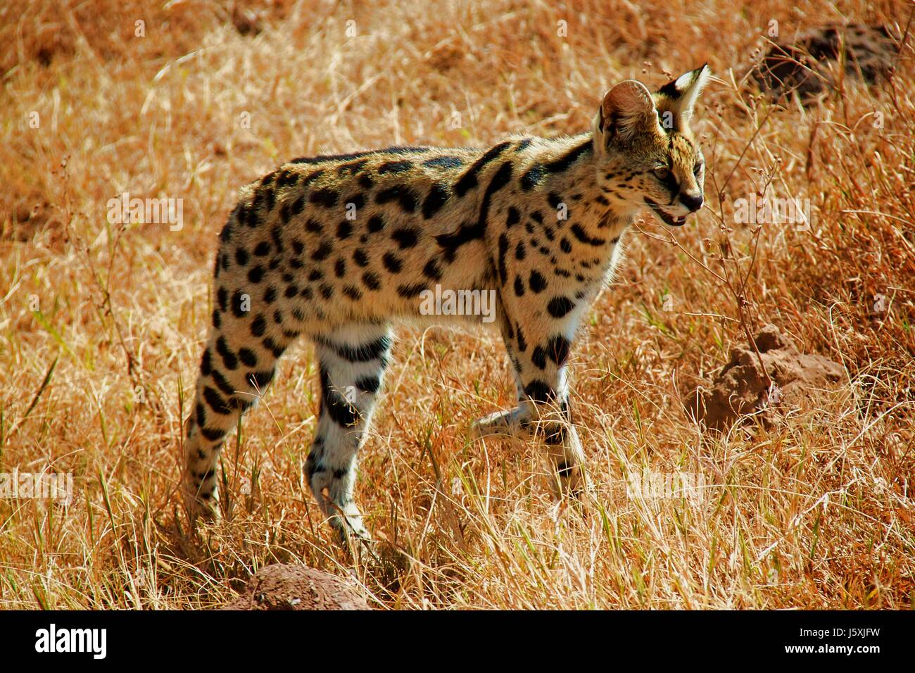 serval cat on tanzania safari - Stock Image