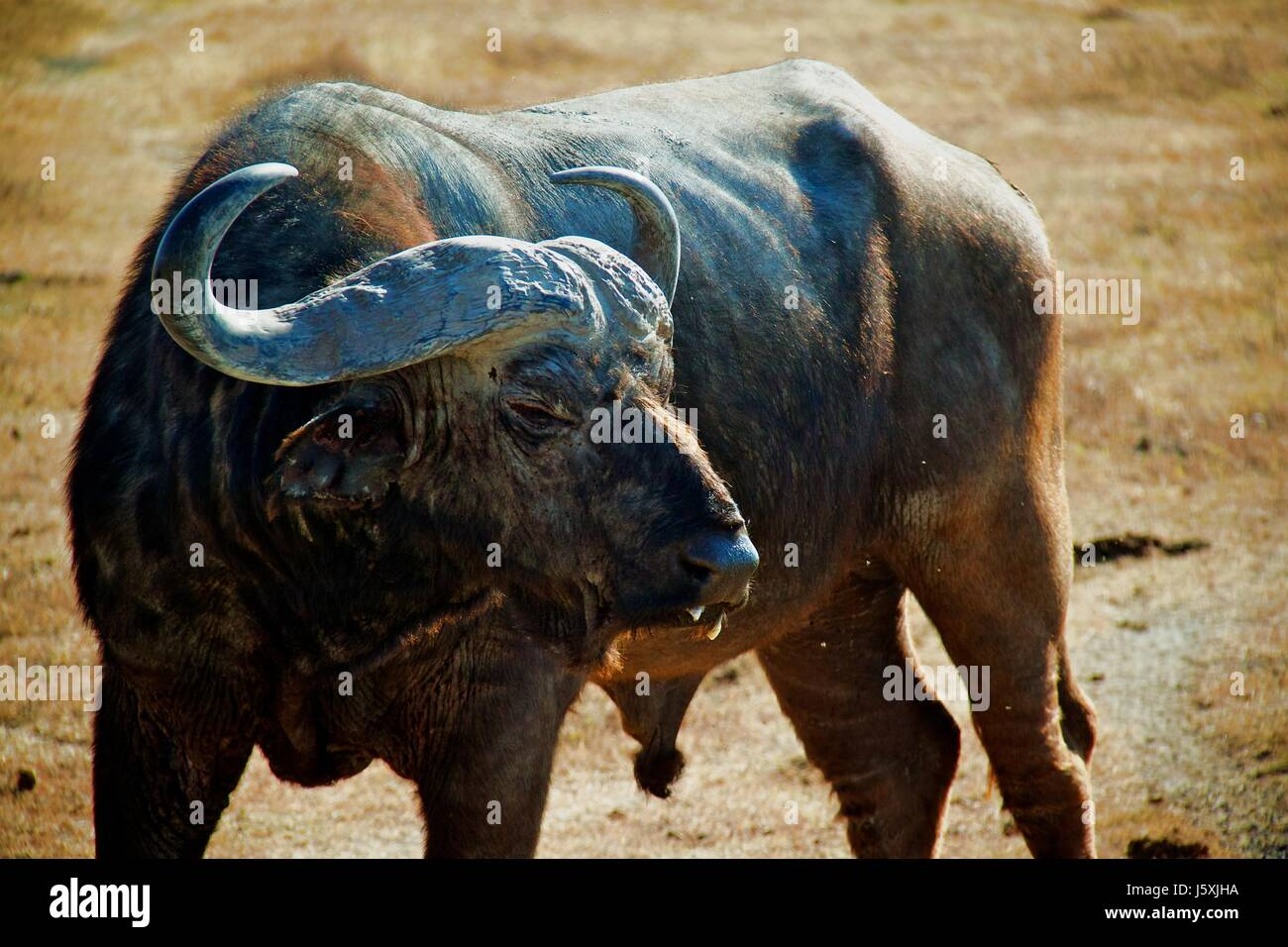 african buffalo on tanzania safari - Stock Image