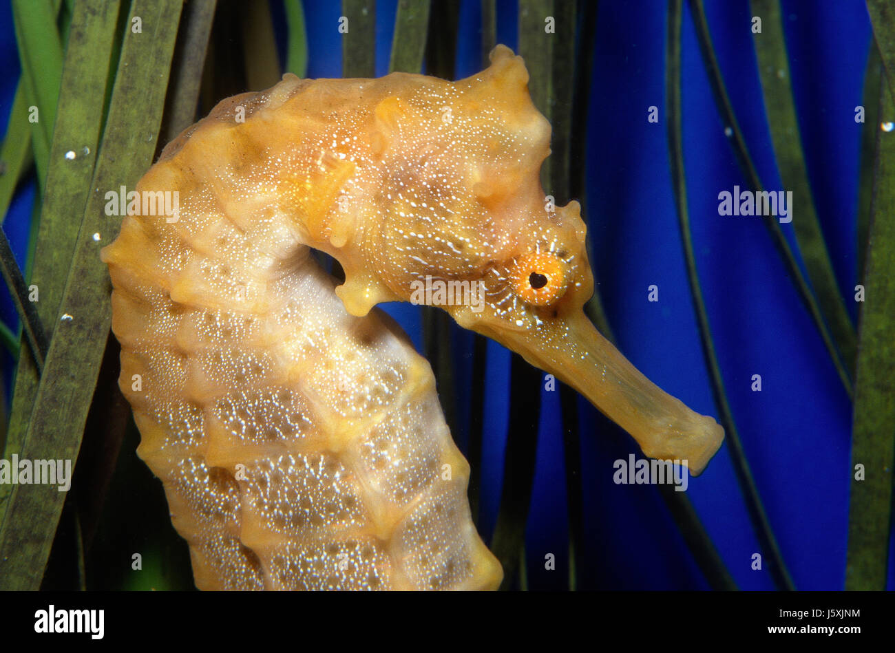Pacific seahorse, Hippocampus ingens Stock Photo