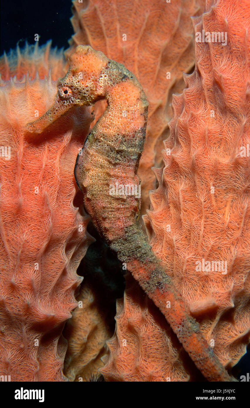 Long snout seahorse, Hippocampus reidi - Stock Image