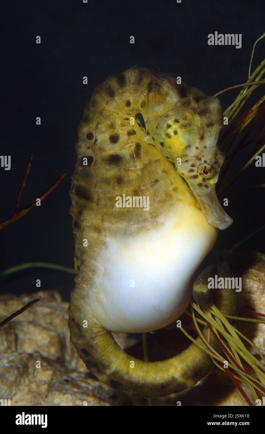 Pot-bellied seahorse, Hippocampus abdominalis - Stock Image