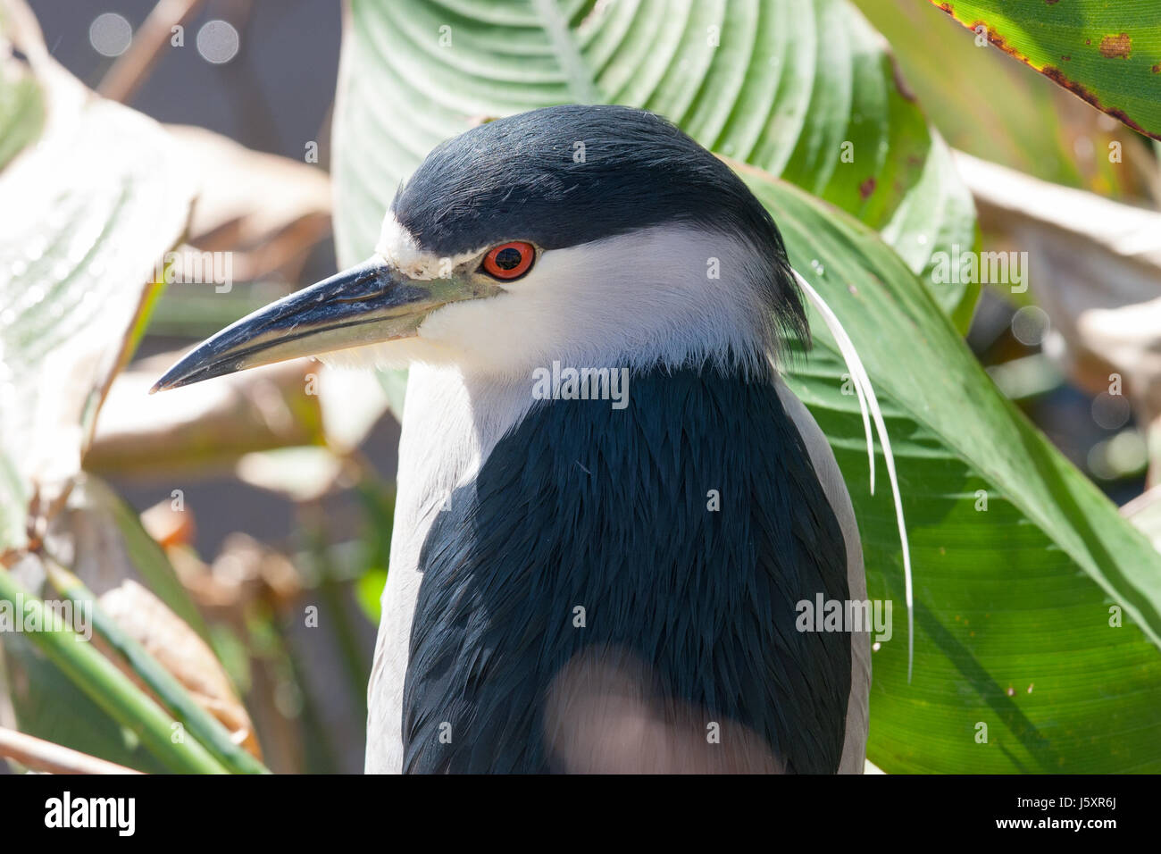 Close up of a Black Crowned Night Heron bird in wetlands Stock Photo