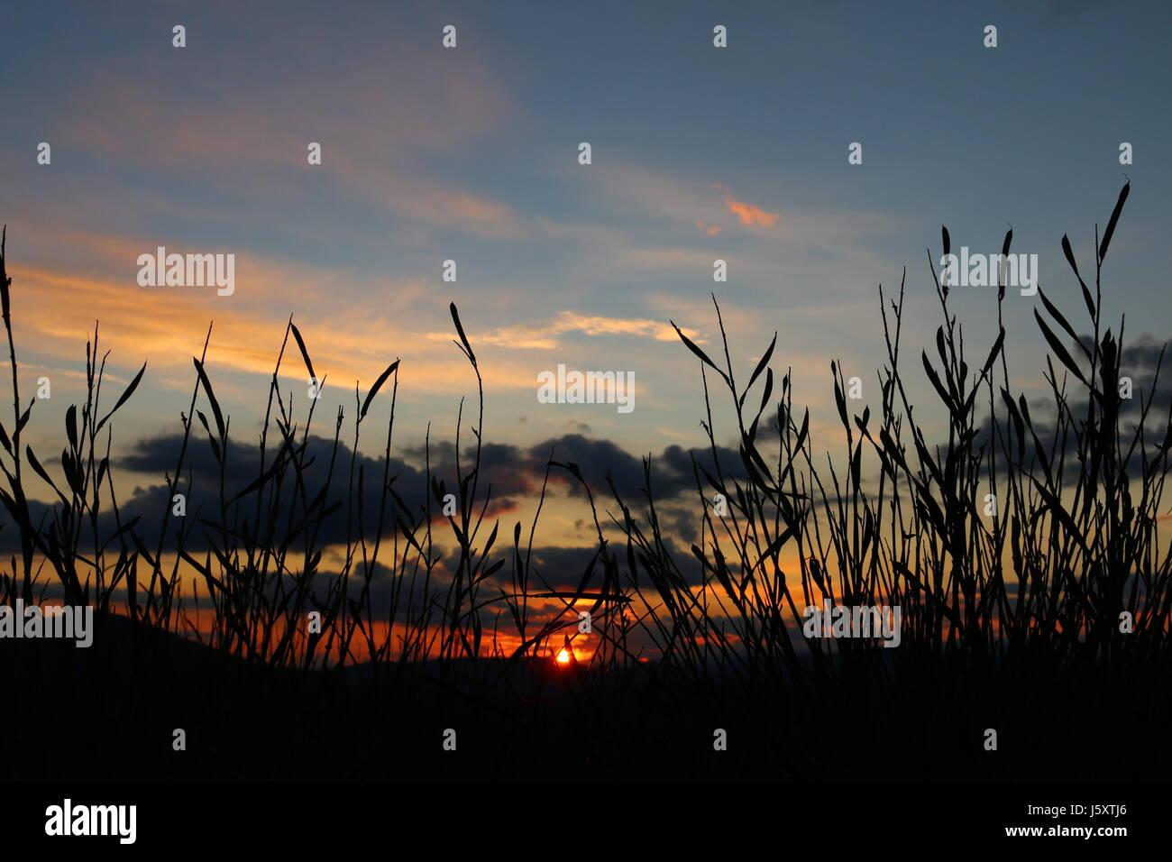 Sunset in a Genisteae Dumort - Stock Image